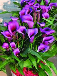 purple calla purple calla seeds potted balcony calla radiation