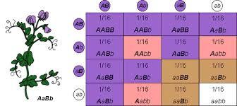 Dihybrid Cross Punnett Square Worksheet Mendalian Genetics