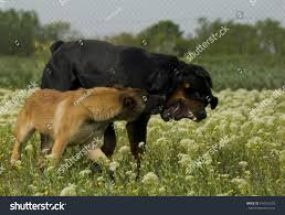 belgian shepherd hunting two dogs purebred rottweiler young belgian stock photo 104151293