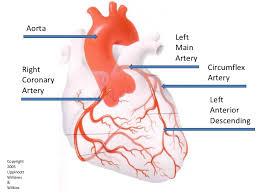 Heart Anatomy Arteries What Arteries Feed The Heart Socratic