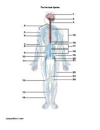 Human Anatomy Words The Nervous System Identification Quiz Or Worksheet For Anatomy