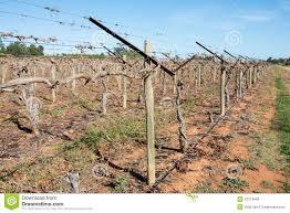 grape vines with shaw swing arm trellis stock photo image 43124648