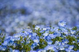 blooms flowers nemophila blooms at japan s hitachi seaside park