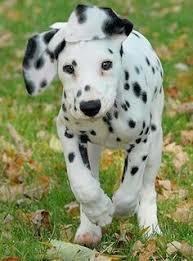 cute dalmation puppy pics dalmatian animal dog