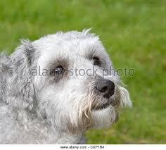 poodle y bichon frise bichon poodle stock photos u0026 bichon poodle stock images alamy