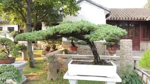 what does a 150 year old bonsai look like pics