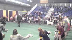 australian shepherd 2015 westminster junior finalist westminster 2015 youtube