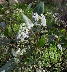 australian native climbing plants hardenbergia violacea native wisteria mallee native plants