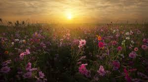 Popular Wallpaper by Wallpaper Cosmos Flowers Sunrise Bloom Blossom 4k Flowers 5672