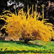 forsythia shrubs trees u0026 bushes the home depot