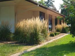 karl foerster feather reedgrass knecht s nurseries landscaping