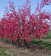 edible ornamentals dave wilson nursery