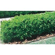 shop 2 quart white japanese boxwood foundation hedge shrub l5873