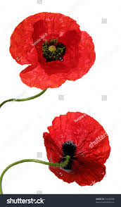 front back view bright poppy flower stock photo 41045260