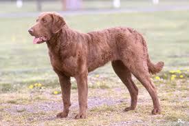 Comfort Retriever Puppies For Sale Chesapeake Bay Retriever Puppies For Sale From Reputable Dog Breeders