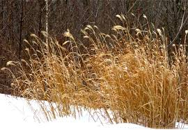 ornamental grass in containers the gardener s