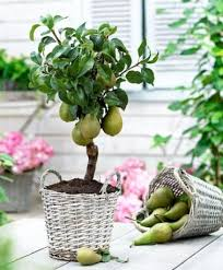 best 25 pear trees ideas on pears pear recipes and