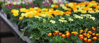 organic fertilizer for ornamental plants sigma agriscience