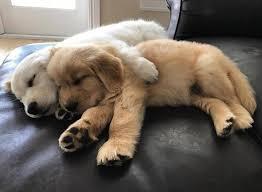 puppy thanksgiving best 25 golden retriever puppies ideas on pinterest golden