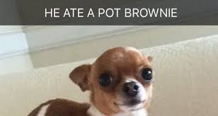 Stoner Dog Meme - dog weighing 2lb eats owner s pot brownie and looks ridiculously