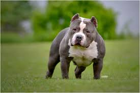 what is the best food to bulk up my pit bull u0026 american bully