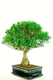 specimen indoor bonsai trees for sale