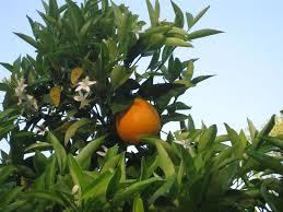 dwarf citrus trees for the small garden vegetable gardener
