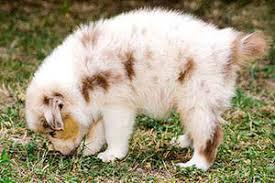 australian shepherd nbt brachyurie natural bobtail nbt yellowstone australian shepherds