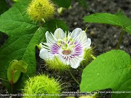 Rainforest Passion Flower - rainforest birding tour in manokwari west papua hiking and