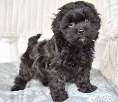 shi poo shih poo breed puppies by design online
