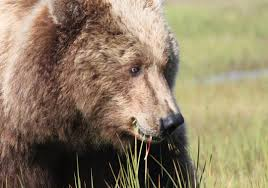 bears up close and personal sierra club