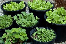 pot and container sizes for growing vegetable crops harvest to table