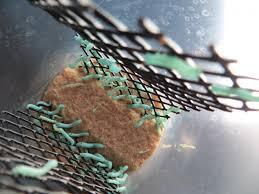 breeding hornworms clubfauna