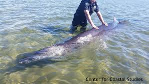rare beaked whale strands off provincetown ma center for