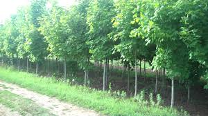 landscaping with fast growing trees buy fast growing trees at tn
