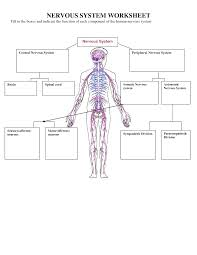 nervous system worksheets places to visit pinterest nervous