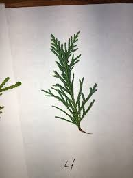 natureplus 4 different types of trees tagged leyland cypress