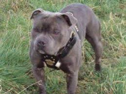 belgian shepherd x staffy staffordshire bull terrier dogs and puppies for stud in newport