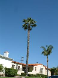 mexican fan palm growth rate washingtonia robusta