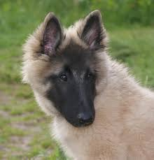 belgian sheepdog mix what is your favourite dog breed page 3