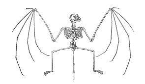 Halloween Bats To Color by Antique Images Free Halloween Clip Art Bat Skeleton Illustration