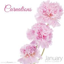 carnations flowers the january birth flower carnations pollennation