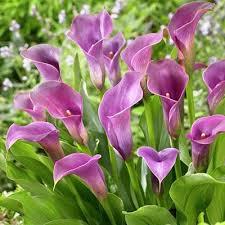 calla bulbs 5 lavender gem calla bulbs daylily nursery