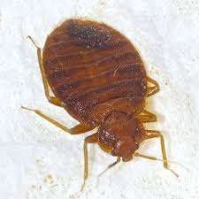 Bed Bug Bed Bugs How Far Do Bed Bugs Travel Arrow Exterminating