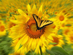 yellow sunflowers with butterfly pictures photos and images for
