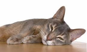 belgian shepherd hypoallergenic hypoallergenic cats fact or fiction animal hearted u2013 animal