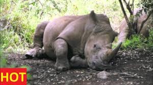 animals documentary discovery channel angry rhino attacks hyena