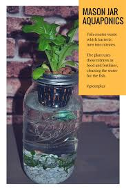 how mason jar aquaponics works fish waste used as fertlizer by