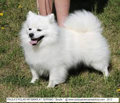 miniature american eskimo dog life expectancy mini miniature american eskimo puppies dog breeds puppies