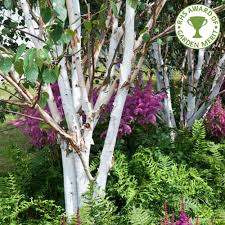 birch trees betula trees all birch trees ornamental trees ltd